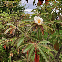 Franklinia alatamaha flower and red leaves