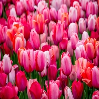 Hundreds of pink and red tulips